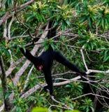 Spider monkey male swinging on the tree branch,Kanuku Mountains, Rupununi,Guyana stock photography