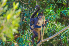 Free Spider Monkey. Mexico Stock Photo - 89862030