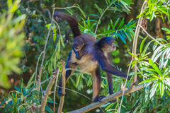 Spider monkey. Mexico Stock Photography