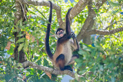 Spider monkey. Mexico Royalty Free Stock Images