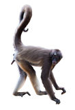 Spider monkey  over white background Stock Photos