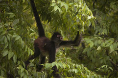 Spider monkey hanging from tree Stock Photo