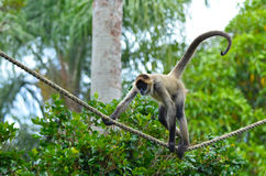 Spider monkey play on a rope Stock Photography