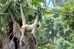 Spider monkey play on a rope Royalty Free Stock Photos