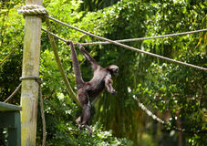 Spider Monkey playing in a park Royalty Free Stock Photography