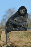 Spider Monkey Portrait. Colombian black spider monkey (Ateles fusciceps robustus) sits on rocky outcropping royalty free stock image