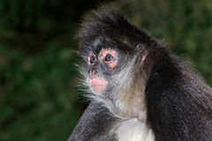 Spider monkey portrait Royalty Free Stock Images