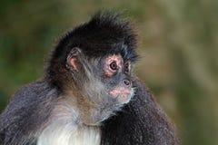 Spider monkey portrait 02 Stock Photos