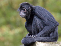 Spider monkey. Portrait of a Spider monkey with a green background stock photo