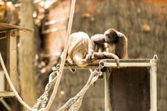 Spider monkey Stock Photography