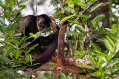 Spider monkey Royalty Free Stock Photography