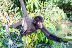 Spider Monkey Reaching for Banana. Black spider monkey reaching for a banana in Madidi National Park in Bolivia stock photography
