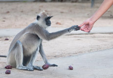 Spider monkey reaching hand Royalty Free Stock Photo