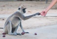 Spider monkey reaching hand Royalty Free Stock Photo