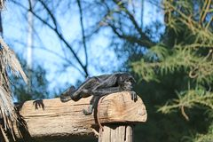 A spider monkey relaxing and laying around Stock Photo