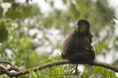Spider monkey on branch Stock Images