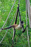 Spider monkey on rope #1 Stock Image