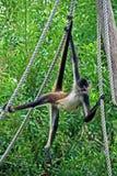 Spider monkey on rope #1 Stock Image