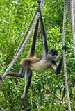 Spider monkey on rope #3. A spider monkey hangs on ropes with its limbs and prehensile tail in front of a background with green leaves Royalty Free Stock Photo
