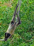 Spider monkey on rope #4. A spider monkey sits on rope with its arms and prehensile tails stretching out.  Green tree background Stock Photo