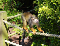Squirrel Monkey on Rope Fence Stock Photos