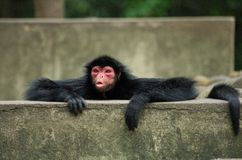 Spider Monkey sending a kiss. This image of a Spider Monkey was captured at Rio de Janeiro zoo, Brazil Royalty Free Stock Image