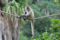 Spider monkey sit on a rope Royalty Free Stock Image