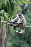 Spider monkey sit on a rope Stock Images