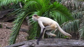 Spider monkey sit on a tree log stock video