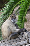 Spider monkey sit on a tree log Stock Image