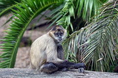 Spider monkey sit on a tree log Royalty Free Stock Image