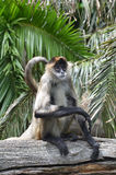 Spider monkey sit on a tree log Royalty Free Stock Photography