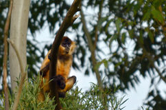 Spider Monkey sit on a tree in rainforest canopy Stock Photos
