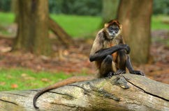 Spider Monkey sit on a tree trunk Royalty Free Stock Photo