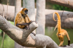 Spider monkey sitting on tree royalty free stock photography