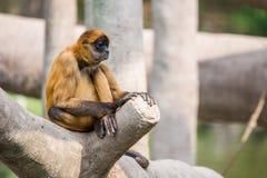 Spider monkey sitting on tree stock photo