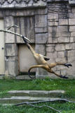 Spider monkey swinging. From a tree at the zoo Royalty Free Stock Photos