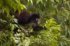 Spider monkey in tree. Spider monkey, Tikal National Park, Guatemala stock photography
