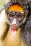 Spider Monkey Tongue Out Royalty Free Stock Images