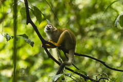 A spider monkey in a tree Stock Photography