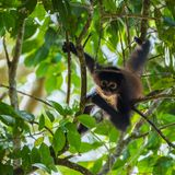 Spider monkey in the tree stock photos
