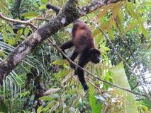 Spider Monkey Stock Photos