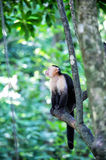 Spider monkey on tree with green leaves Royalty Free Stock Photography