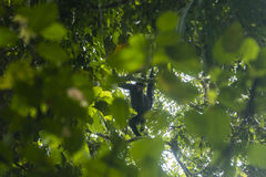 Spider monkey in a tree Royalty Free Stock Photo