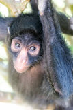 Spider Monkey Vertical View Stock Photography