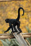Spider monkey. Stock Images