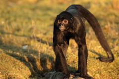 Spider monkey. Royalty Free Stock Images