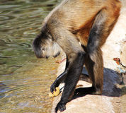 Spider Monkey Washing Rock Utensil Stock Image