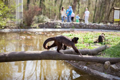 Spider monkey in the zoo Royalty Free Stock Images