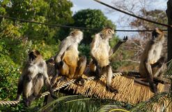 Spider monkeys. Stock Images